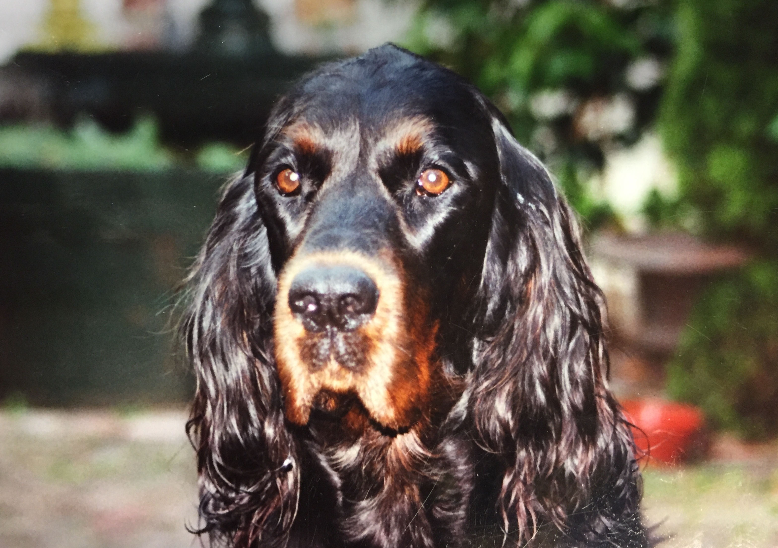 gordon setter noble friends
