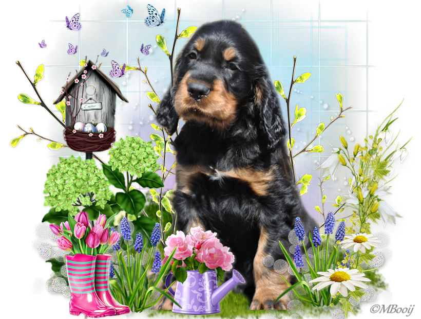Gordon Setter From the Noble Friends